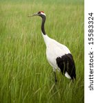 Portrait Of Red Crowned Crane.