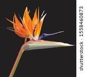 Strelitzia Reginae Orange...