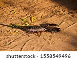 A Large Scorpion That Spends...