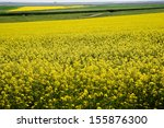 Rapeseed Cultivation In Romania