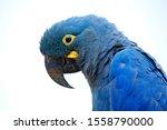 Lear's Macaw  Anodorhynchus...
