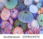 Colorful Sea Urchins And Shells ...
