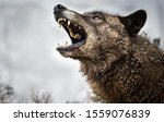 wolf growling and fighting and ...