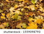 Yellow Maple Fallen Leaves On...