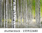 Birch Trees In Bright Sunshine...