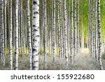 Birch Trees In Bright Sunshine...