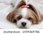 Cute Shih Tzu The Dog Looks At...