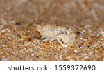 Sea Flea On The Sea Sand