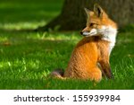 Red Fox Sitting Comfortably On...