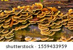 Fungus On Decaying Wood. Fungu...