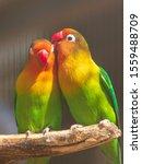 Lovebirds Parrots In The Zoo.