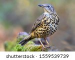 Mistle Thrush Looking For A...