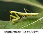 Praying mantis (Mantis religiosa) on a leaf. - stock photo