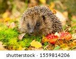 Hedgehog   Scientific Name ...