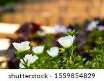 White Pigweed Or Verdolaga Or...
