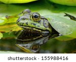 An American Bullfrog. Photo...