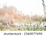 Wild Daisies In A Field Of Wil...