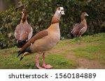 Egyptian Goose Duck In The...