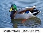 Male Mallard Duck In The Water