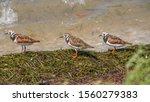 Three Ruddy Turnstones Birds...