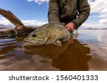 huge smallmouth bass about to be released after fly fishing