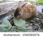 Brown Rabbit Is Eating Leaves...