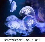 Many Common Jellyfish  Aurelia...