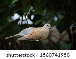Ring Necked Dove Sitting On A...