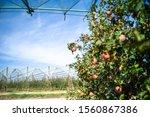 apples growing on a tree. apple ...   Shutterstock . vector #1560867386
