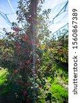 apples growing on a tree. apple ...   Shutterstock . vector #1560867389