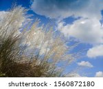 Small photo of Kaash ful or Kans grass oscillating in breeze, Saccharum spontaneum, blue sky and white clouds of autumn season in background , Kolkata, West Bengal, India.