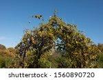 Autumn Foliage Of Grapevines...