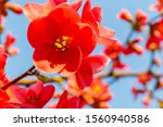 Bright Red Flowers Of...