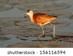Small photo of African Jacana (Actophilornis africana) on a water lily leaf, southern Africa