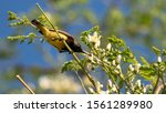 Olive Backed Sunbird With Whit...