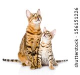 Two Bengal Cats. Mother Cat And ...