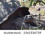 Stock photo galapagos giant tortoise in the wild on santa fe island 1561536739