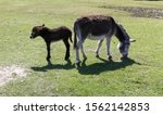 New Forest Donkey And Baby Foa...