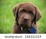 cute chocolate labrador puppy  | Shutterstock . vector #156221219
