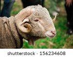 arles merino ram | Shutterstock . vector #156234608