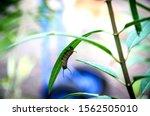 A Monarch Caterpillar Munching...