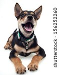 Stock photo cute black brown dog sitting isolated on white background 156252260