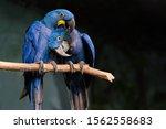 Loving Blue Hyacinth Macaws...