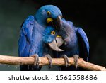 Loving Blue Hyacinth Macaws...