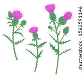 simple thistle plant with... | Shutterstock .eps vector #1562591146