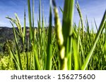paddy rice field in blue sky... | Shutterstock . vector #156275600