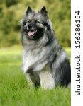 keeshound  keeshond | Shutterstock . vector #156286154