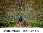 Peacock With A Spread Tail...
