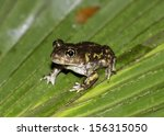 Spadefoot Toad on a leaf