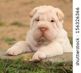 Adorable Shar Pei Puppy Looking ...